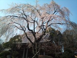 Sakura1101